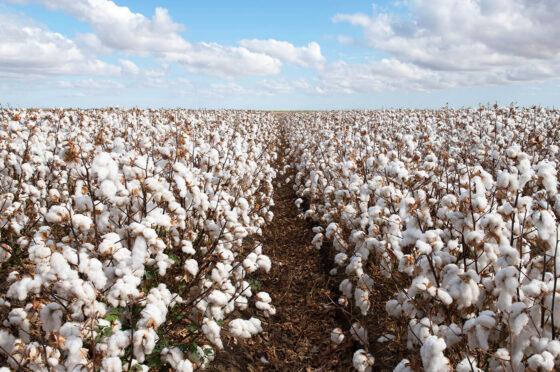 Differenza tra cotone tradizionale e cotone biologico